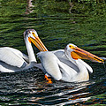 White Pelicans Fishing for Trout Print by Kathleen Bishop