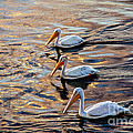 White Pelicans  In Golden Water Poster by Robert Bales