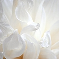 White Petal Elegance Print by Barbara Chichester