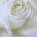 White Rose Floral Whispers Poster by Jennie Marie Schell