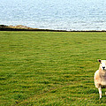White sheep in a green field by the sea Print by Georgia Fowler