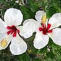 White Twin Hibiscus with Red Veriegation Print by Buzz  Coe