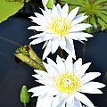White water Lilies Poster by Jeannette Wagner