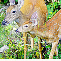 Whitetailed Deer Doe and Fawn Print by A Gurmankin