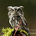 Whooo Goes There... Eastern Screech Owl  Poster by Inspired Nature Photography By Shelley Myke