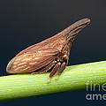 Widefooted Treehopper II Poster by Clarence Holmes