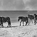 Wild Mustangs of Shackleford Print by Betsy A  Cutler