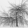 Wild Springtime Winter Tree Black and White Print by James BO  Insogna