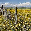 Wildflowers Surround Rustic Barb Wire Poster by David Ponton
