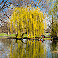 Willow tree water reflection Print by Matthias Hauser