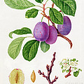 Wilmot's Early Violet Plum Poster by William Hooker