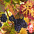 Wine grapes Cabernet Franc Print by Garry Gay
