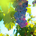 Wine grapes  Poster by Jeff  Swan