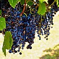 Wine Grapes Poster by Kristina Deane