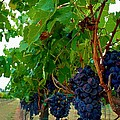 Wine Grapes on the Vine Poster by Kristina Deane
