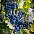 Wine Grapes Poster by Tetyana Kokhanets