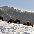 Winter Bison Herd in Yellowstone Poster by Bruce Gourley