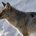 Winter Coyote in Yellowstone Print by Bruce Gourley