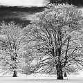 Winter Horse Chestnut Trees Monochrome Print by Tim Gainey