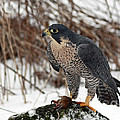 Winter Hunt Peregrine Falcon in the Snow Poster by Inspired Nature Photography By Shelley Myke