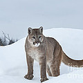 Winter Mountain Lion  Poster by Sandra Bronstein