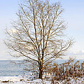 Winter tree on shore Poster by Elena Elisseeva