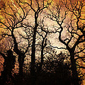 Winter Trees in Amber Poster by Annabelle Ward