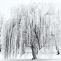 Winter Willow Print by Mike  Dawson