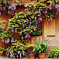 Wisteria on Home in Zellenberg 4 Print by Greg Matchick