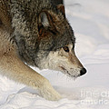 Wolf Dreams Poster by Inspired Nature Photography By Shelley Myke