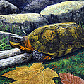 Wood Turtle Poster by Frank Wilson