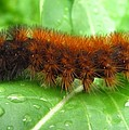 Wooly Bear  Print by Joshua Bales