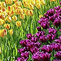 Yellow and Purple Tulips Print by Allen Beatty