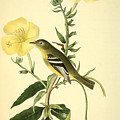 Yellow-bellied Flycatcher Print by John James Audubon