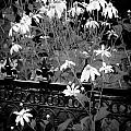 Yellow Coneflowers Echinacea Wrought Iron Gate BW Print by Rich Franco