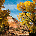 Yellow Cottonwoods and Dry Wash Zion National Park Utah Print by Robert Ford