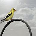 Yellow Finch a bright spot of color Print by Christine Till
