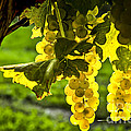 Yellow grapes in sunshine Print by Elena Elisseeva