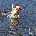 Yellow Lab Retrieving Toy Poster by Linda Freshwaters Arndt