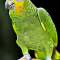Yellow-shouldered Amazon parrot Poster by Elena Elisseeva