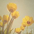 Yellow tulips Poster by Diana Kraleva
