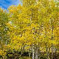 Yellows of Fall Print by Baywest Imaging