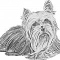 Yorkshire Terrier Drawing Poster by Catherine Roberts