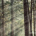 Yosemite pines in sunlight Print by Jane Rix