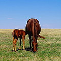 YOUNG COLT AND MOTHER Print by Jeff  Swan