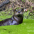 Young River Otter Egan's Creek Greenway Florida Print by Dawna  Moore Photography