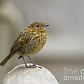 Young Robin Print by Anne Gilbert