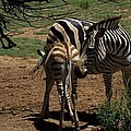 Zebra Mother and Foal Poster by Graham Palmer