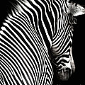 Zebra on Black Poster by Elle Arden Walby