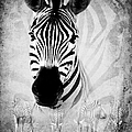 ZEBRA PROFILE IN BW Poster by RONEL BRODERICK